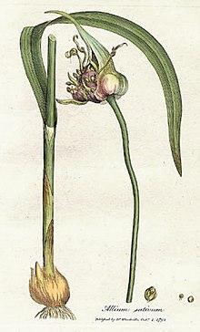 Garlic; Allium sativum L; Allicin Pharm